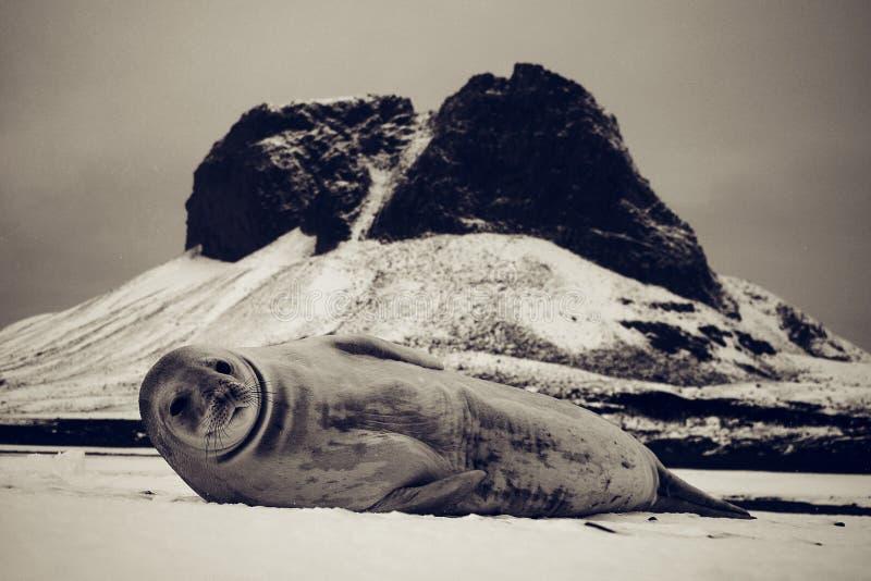 Crabeater Seal Lobodon carcinophaga stock photos