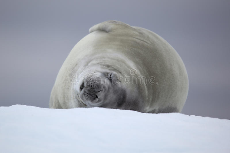 Download Crabeater Seal Sleeping On Ice Floe, Antarctica Stock Image - Image: 14234839
