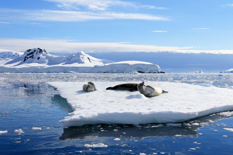 Crabeaterdichtungen auf Eisscholle, antarktische Halbinsel stockfotos