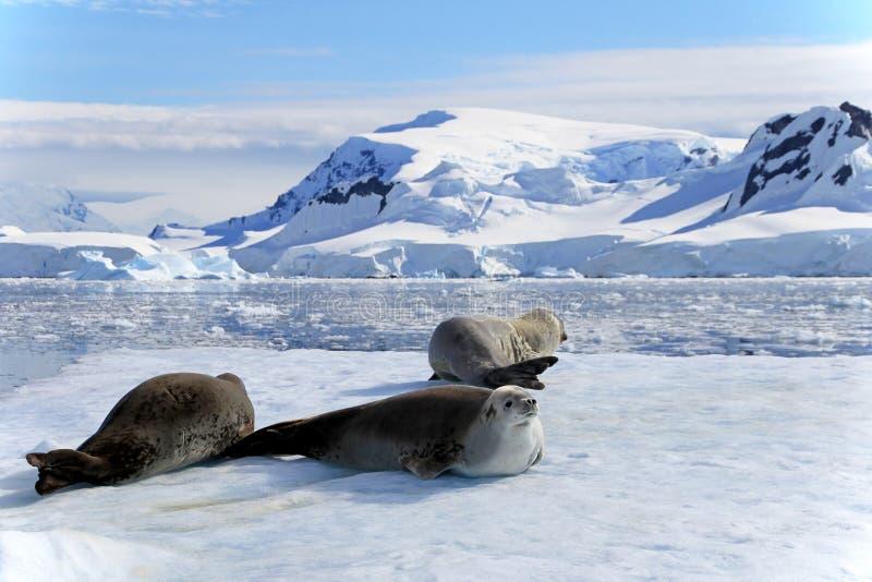 Crabeaterdichtungen auf Eisscholle, antarktische Halbinsel lizenzfreie stockfotografie