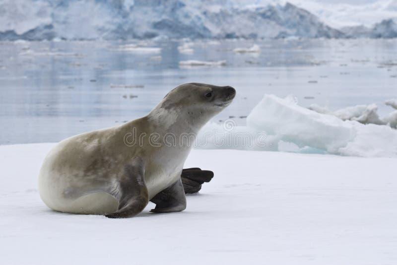 Crabeaterskyddsremsa som ligger på isen i Antarktis royaltyfria foton