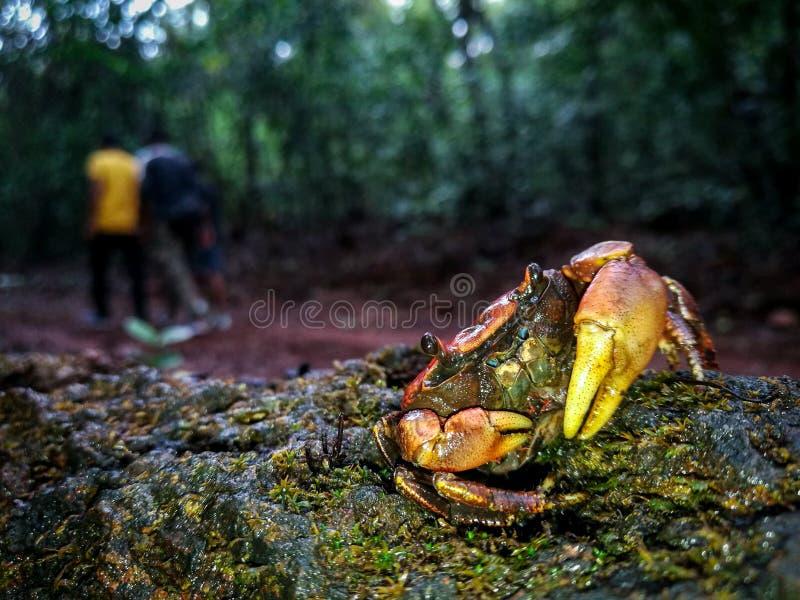 Crabes d'eau douce protégeant sa progéniture contre des humains photos libres de droits