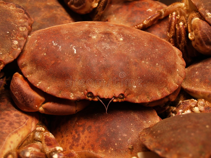 Crabes de Brown images stock