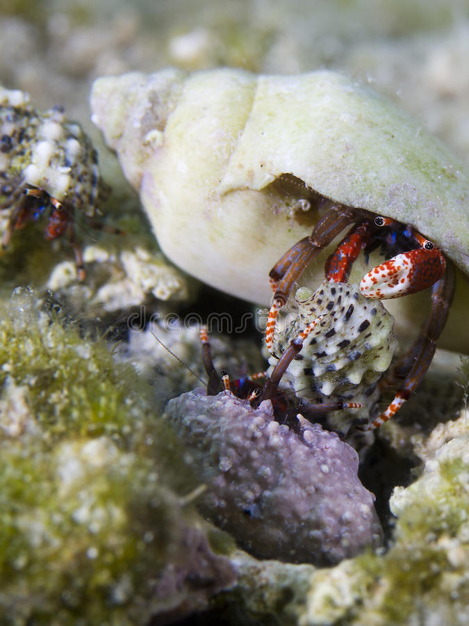 Crabes de Hermid photo stock