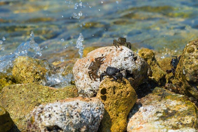 Crabes de mer tachetés sur la côte rocheuse de l'Adriatique, Croatie photo stock
