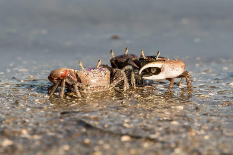 Crabes de violoneur au bord de la mer national de Canaveral photographie stock libre de droits