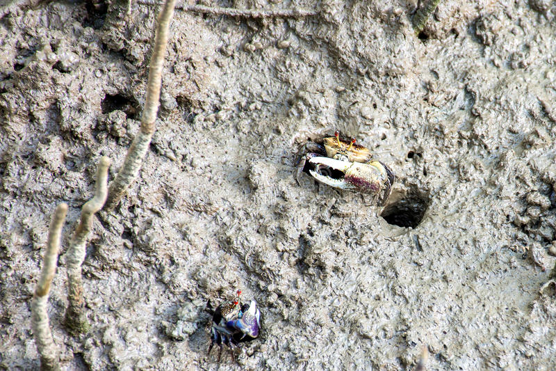 Crabes de violoneur, marécages photo libre de droits