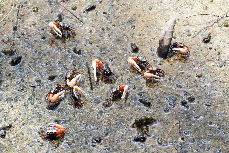 Crabes de violoneur marchant dans la forêt de palétuvier image stock