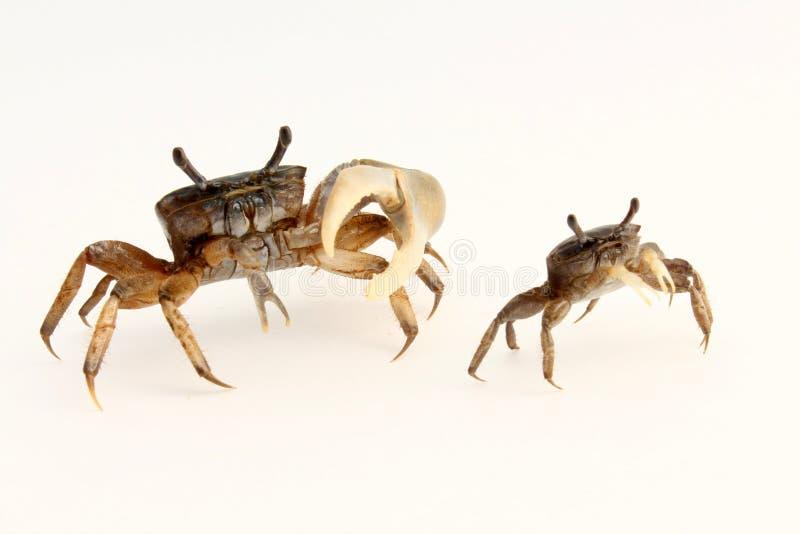 Crabes de violoneur masculins et femelles (minax d'Uca) détournés photographie stock libre de droits