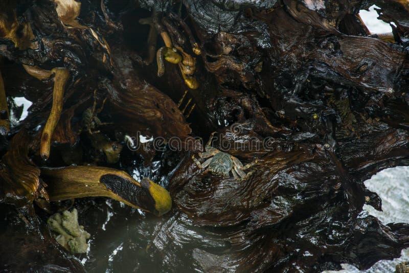 Crabes sur des roches photos stock