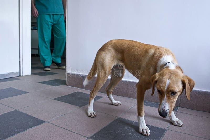 Crabot à la clinique de vétérinaire photographie stock libre de droits