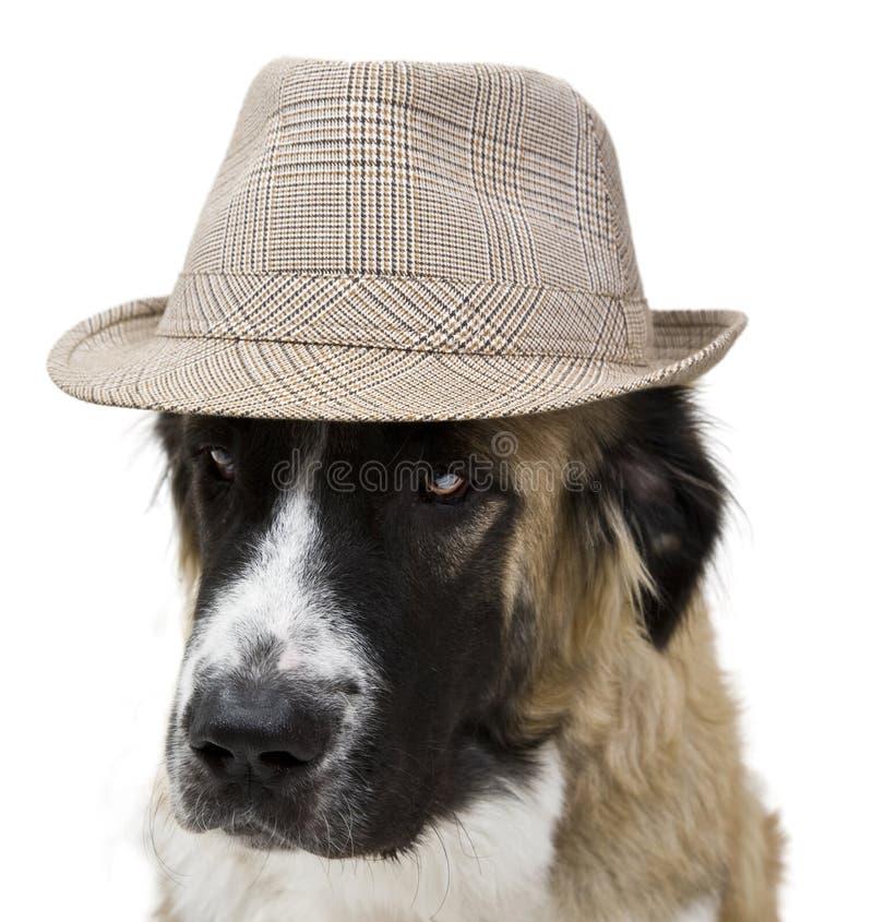Crabot avec le chapeau photos libres de droits