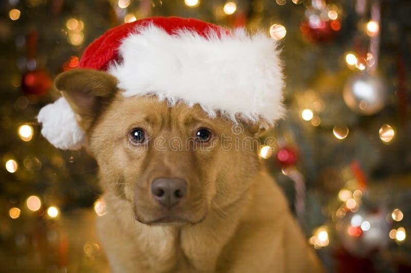 Crabot avec le chapeau de Santa photos libres de droits