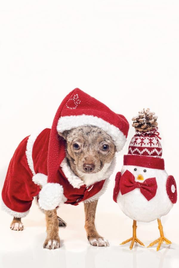 Crabot avec le chiffre de Noël photos libres de droits