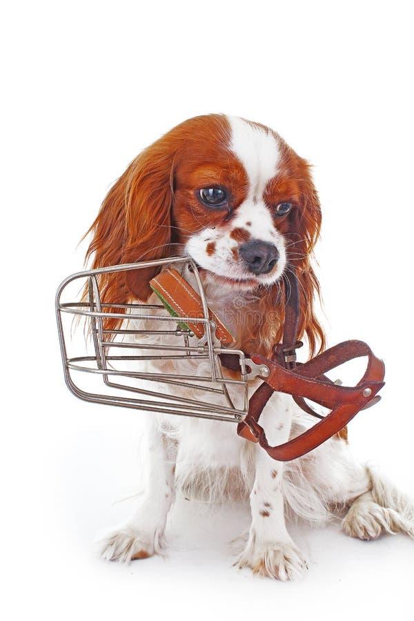 Crabot avec le museau Évitez les chiens de cordelette de morsure Photo cavalière de chien d'épagneul de roi Charles Beau chiot ca photo stock