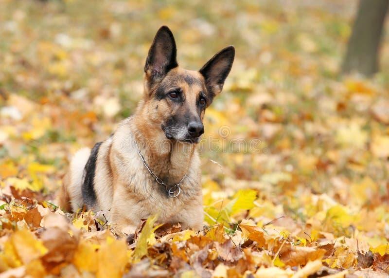 Crabot, berger allemand dans le bois d'automne photo stock