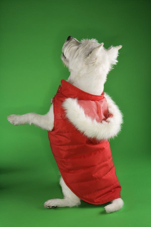 Crabot blanc de chien terrier se levant. photos stock