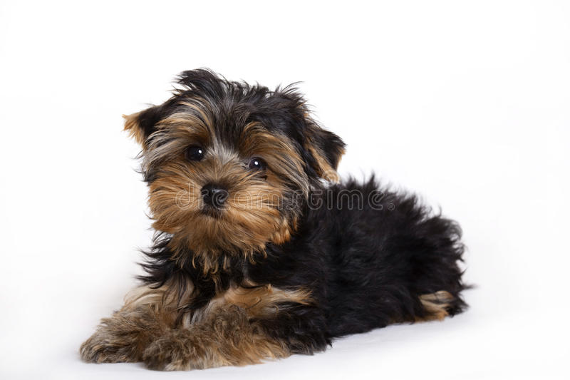 Crabot, chiot de chien terrier de Yorkshire image libre de droits