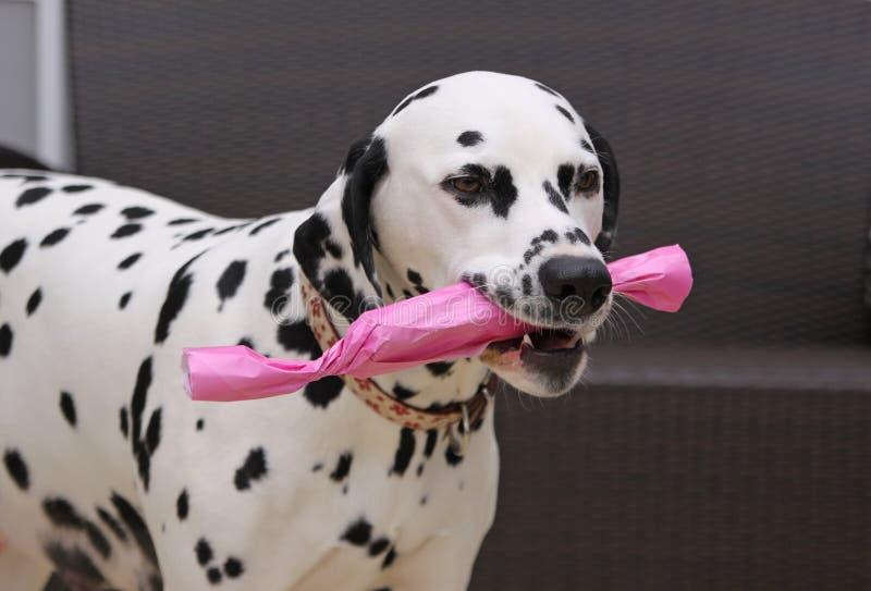 Crabot dalmatien avec un cadeau image libre de droits