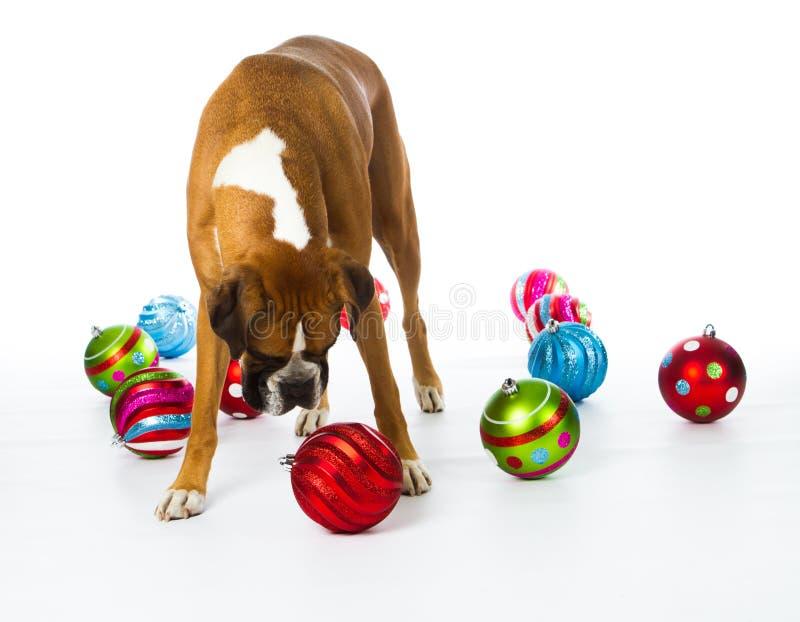 Crabot de boxeur avec des ornements de Noël images stock