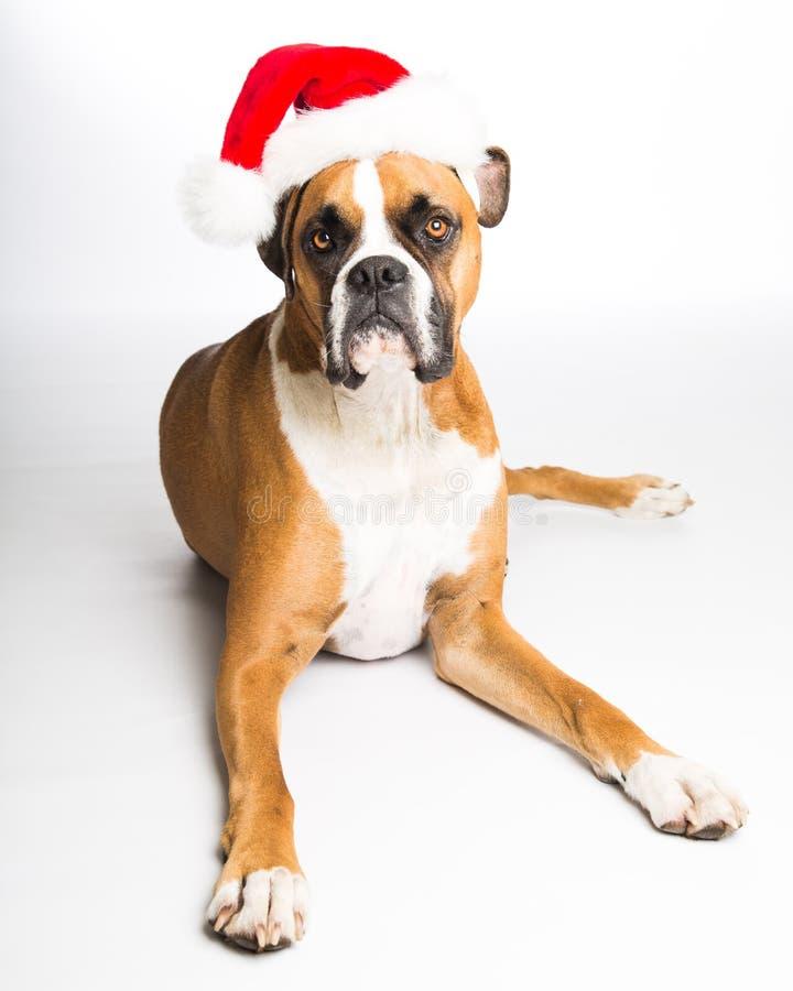 Crabot de boxeur dans le chapeau de Santa images libres de droits