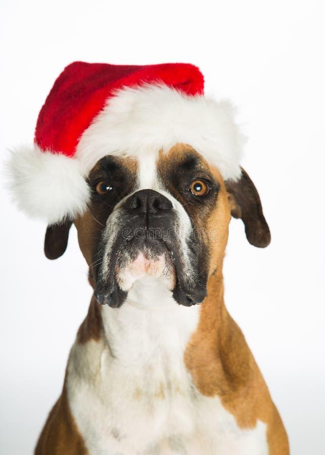 Crabot de boxeur dans le chapeau de Santa photos stock