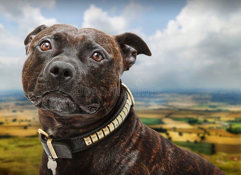 Crabot de bull-terrier du Staffordshire photo stock