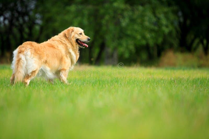 Crabot de chien d'arrêt d'or photos stock