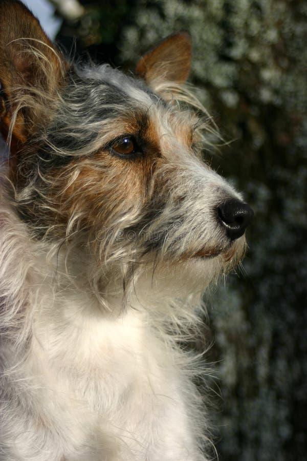 Crabot de chien terrier photos libres de droits