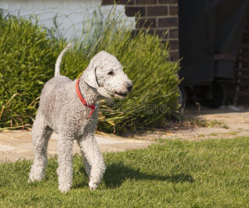 Crabot de chien terrier de Bedlington photographie stock libre de droits