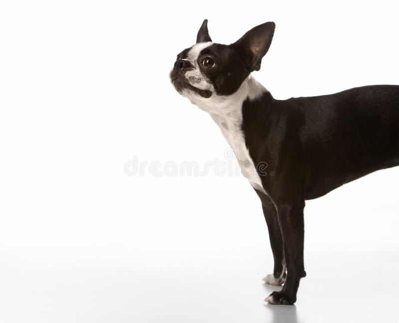 Crabot de chien terrier de Boston. photos libres de droits