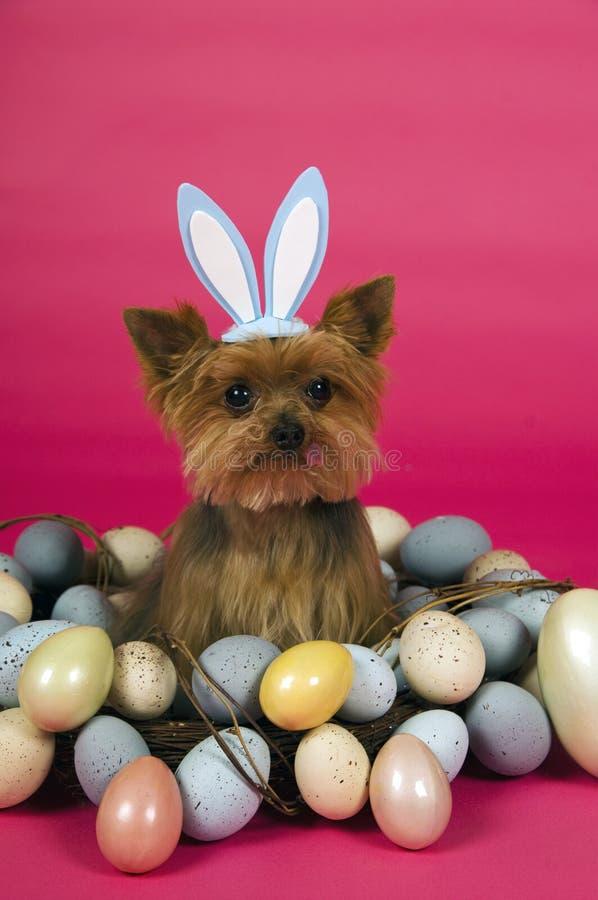 Crabot de chien terrier de Pâques Yorkshire images stock