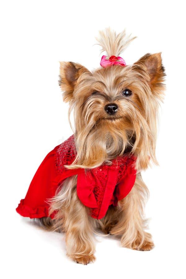 Crabot de chien terrier de Yorkshire dans des vêtements rouges images libres de droits