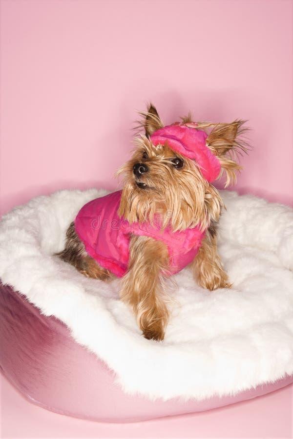 Crabot de chien terrier de Yorkshire dans le rose photo stock