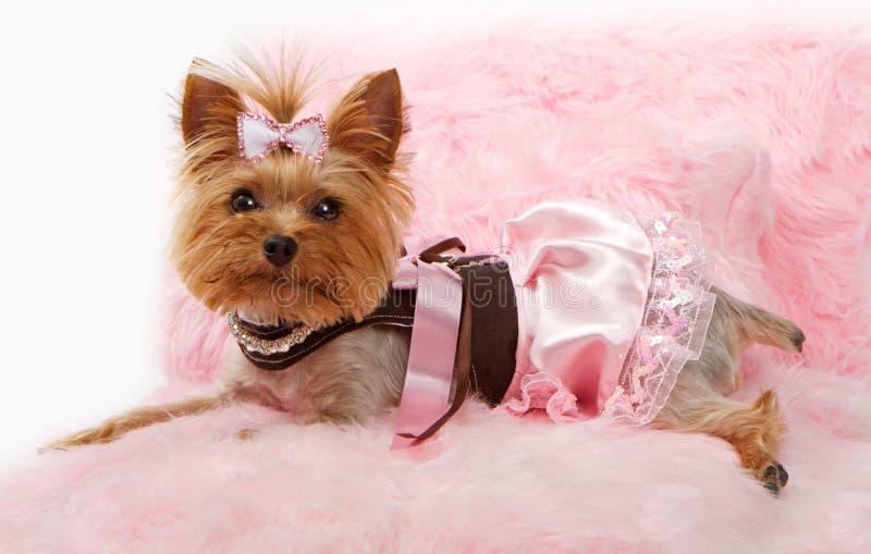 Crabot de chien terrier de Yorkshire sur un bâti rose de luxe photo stock