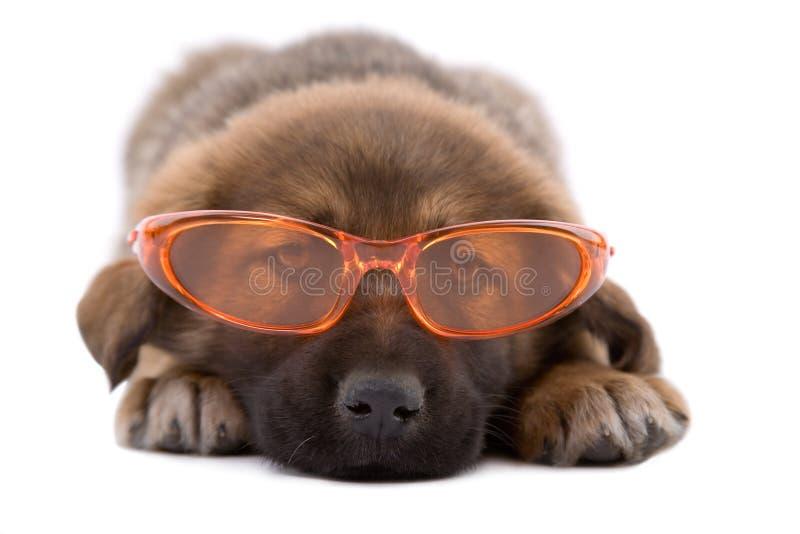 Crabot de chiot avec des lunettes de soleil photo libre de droits