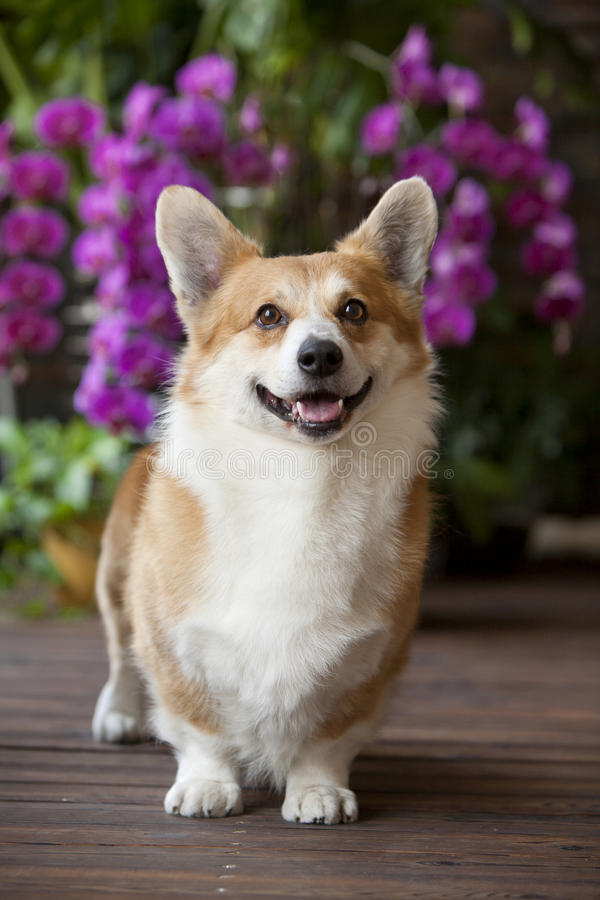 Crabot de Corgi photos stock
