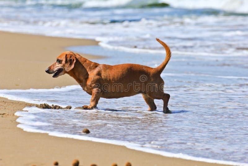 Crabot de Dachshund sur la plage image libre de droits