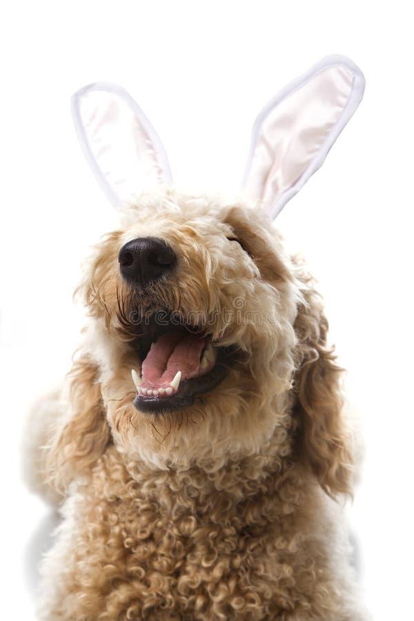 Crabot de Goldendoodle dans des oreilles de lapin. photos stock