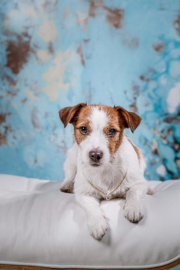 Crabot de Jack Russell images stock