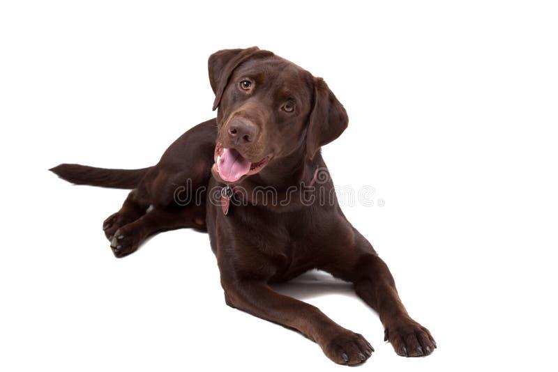 Crabot de Labrador de chocolat sur le fond blanc photos libres de droits