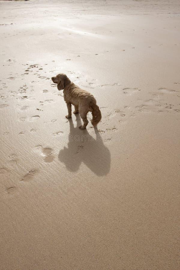 crabot de plage image libre de droits