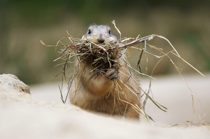 Crabot de prairie photos stock