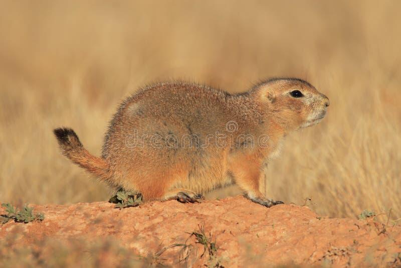 Crabot de prairie de Blacktail images libres de droits