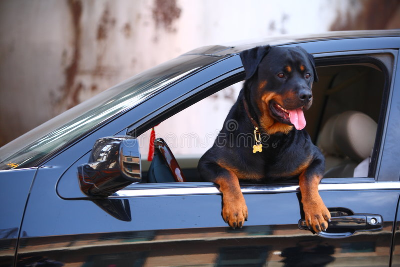 Crabot de Rottweiler avec le véhicule photographie stock libre de droits