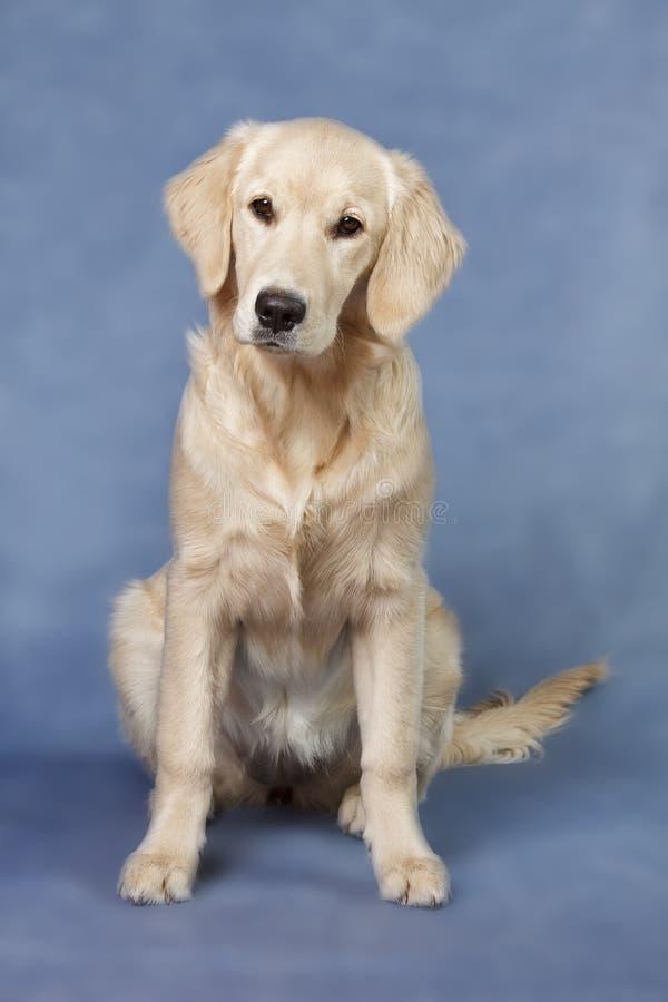 Crabot de verticale - chien d'arrêt d'or photos libres de droits