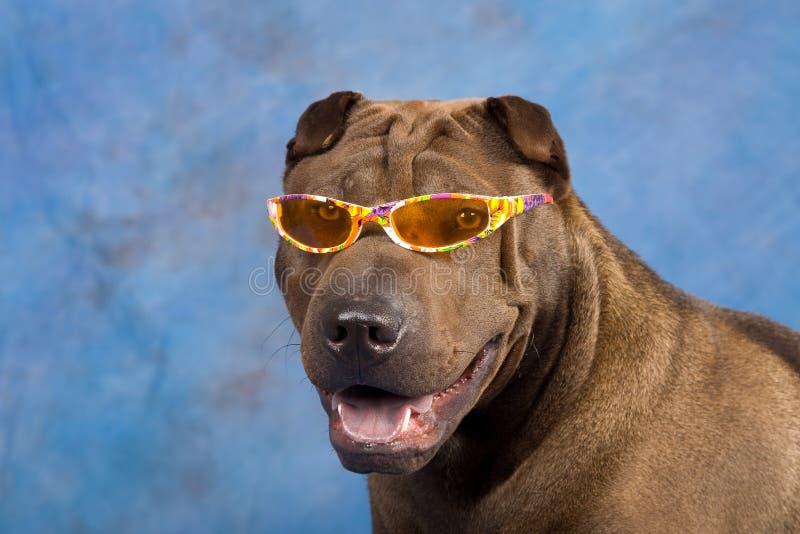 Crabot drôle de Sharpei avec des lunettes de soleil photos stock