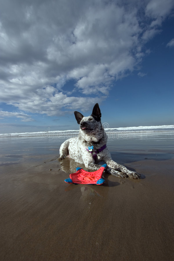 Download Crabot Lounging Sur La Plage Photo stock - Image du canin, côte: 80794