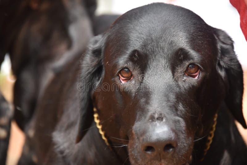 Crabot noir de Labrador image stock