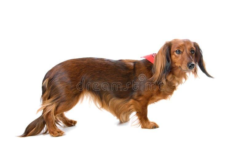 Crabot normal aux cheveux longs de dachshund images libres de droits